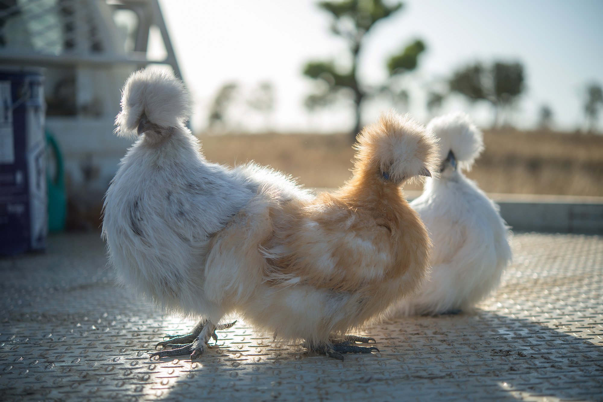 Great Northern Poultry Black Namoi